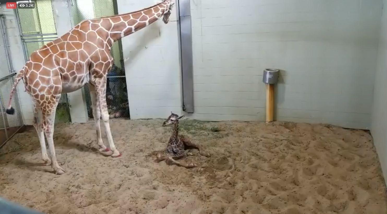 Giraffe Calf 2.JPG
