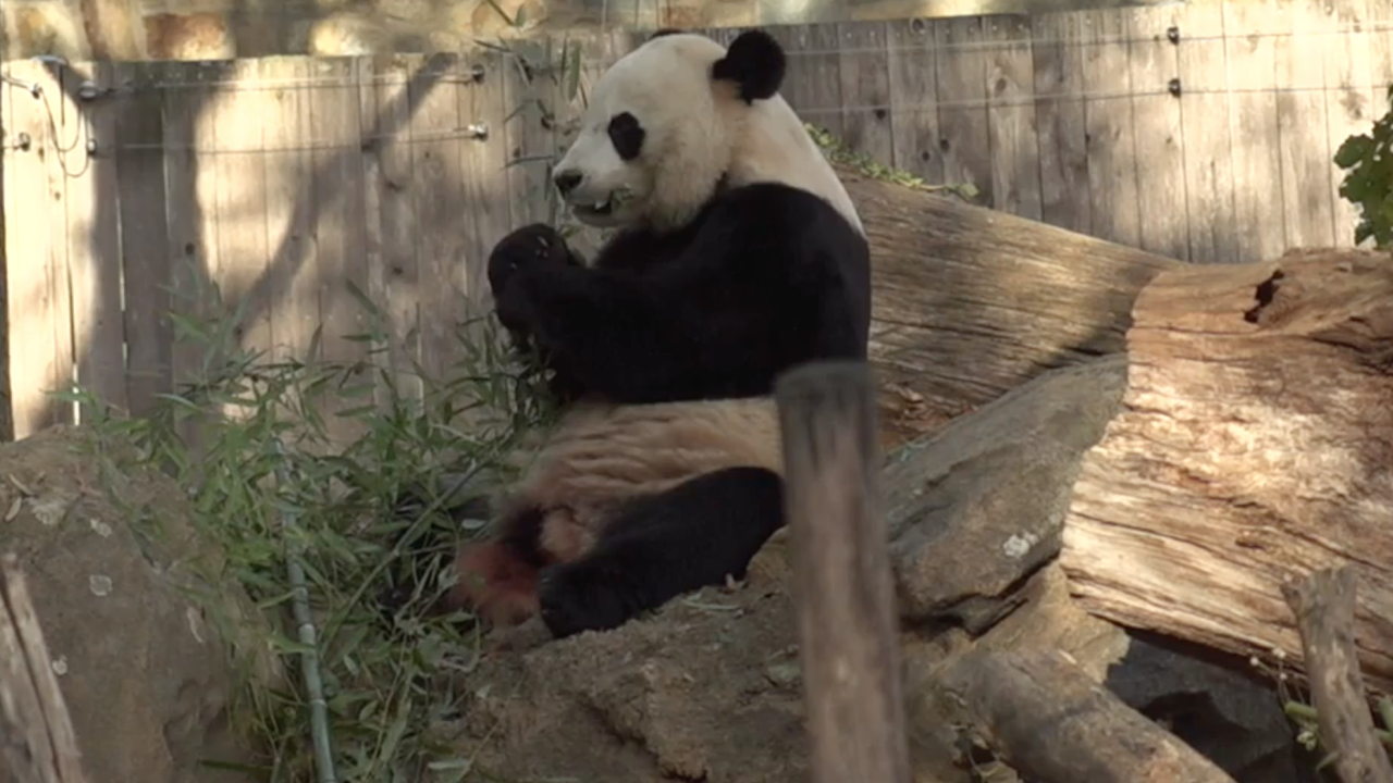 Bei Bei the giant panda bids farewell to US home, bound for China