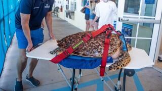The medical staff at Loggerhead Marinelife Center treat Heidi, the largest female adult hawksbill sea turtle in LMC's history, on April 28, 2021.jpg