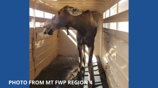 Moose captured in Great Falls, released in Little Belts