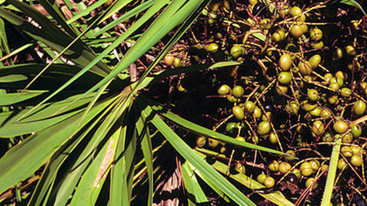 New laws crack down on illegal saw palmetto berry harvesting in Florida