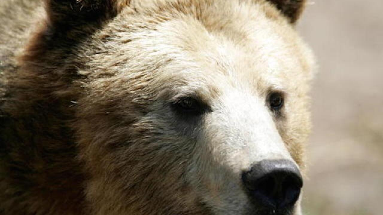 Montana man survives two grizzly bear attacks in one day