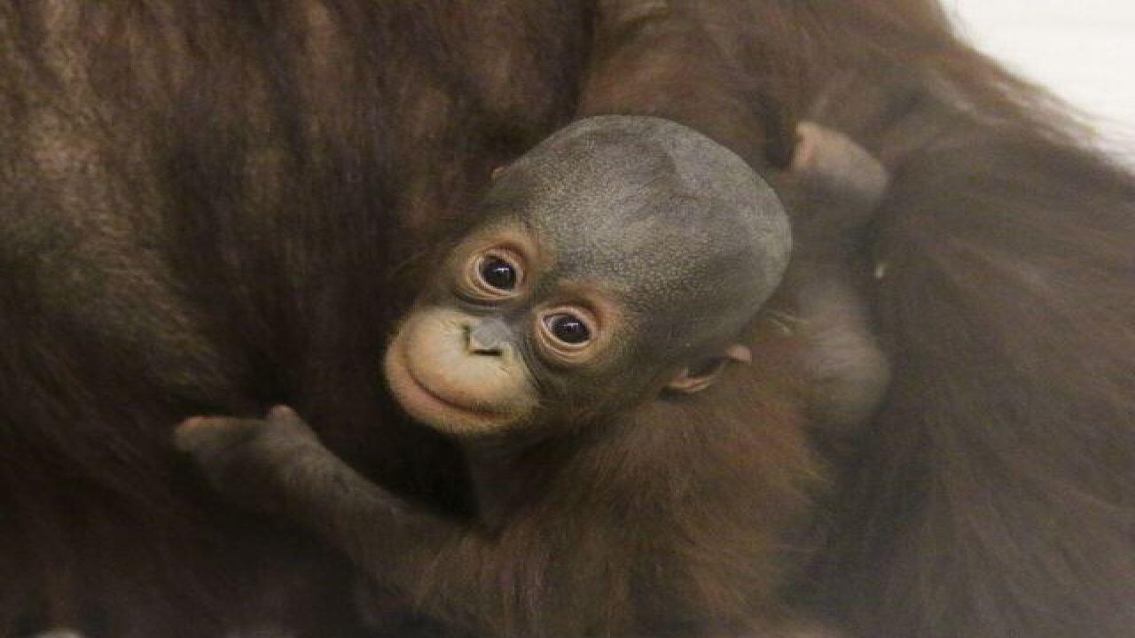 Indy Zoo welcomes Orangutan mom, baby