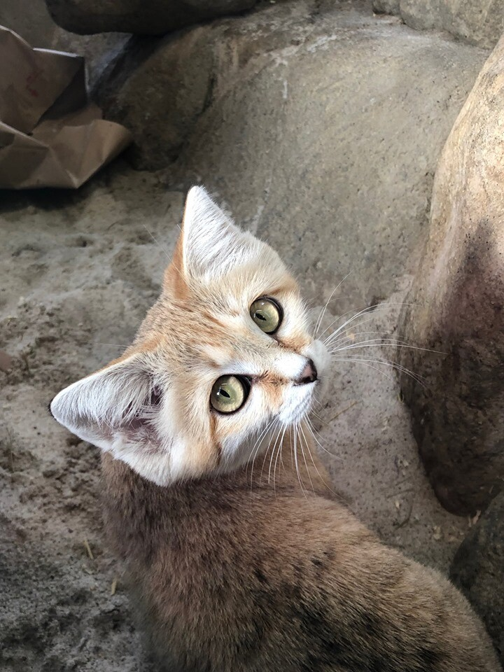 Photos: Hogle Zoo sand cat 'Desiree' gives birth to four kittens