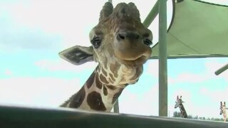 wptv-lion-country-safari-giraffe.jpg