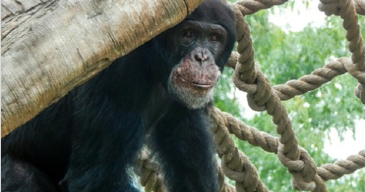The Maryland Zoo welcomes Alex the Chimpanzee!