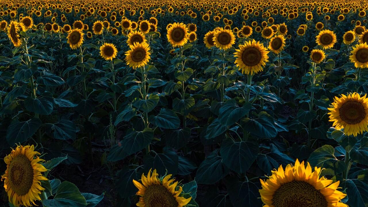 DIA Sunflower Fields