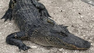 Alligator has to be euthanized after torturing in Indiantown