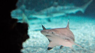 wptv-blacktip-shark-.jpg