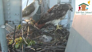 Ruby, her mate and their three baby hawks