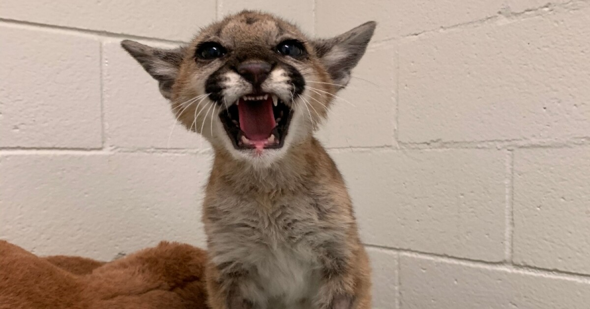 sd humane society project wildlife mountain lion cub2.'