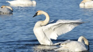 Trumpeter swans.
