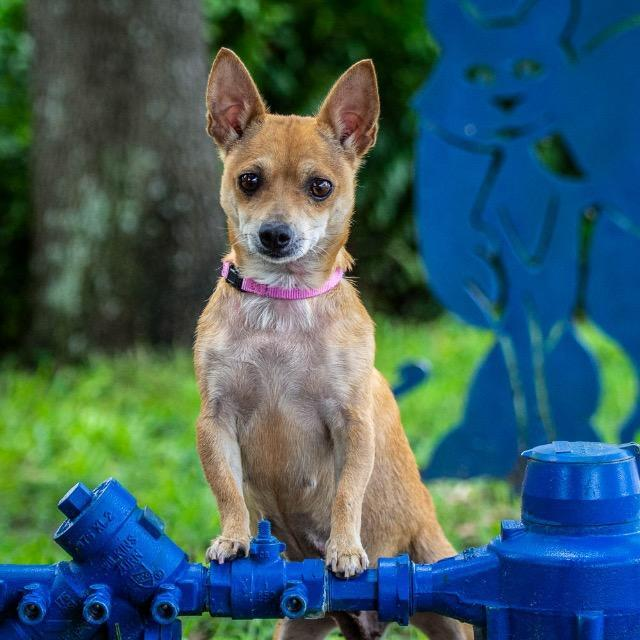 Lucy_Chihuahua mix.jpg