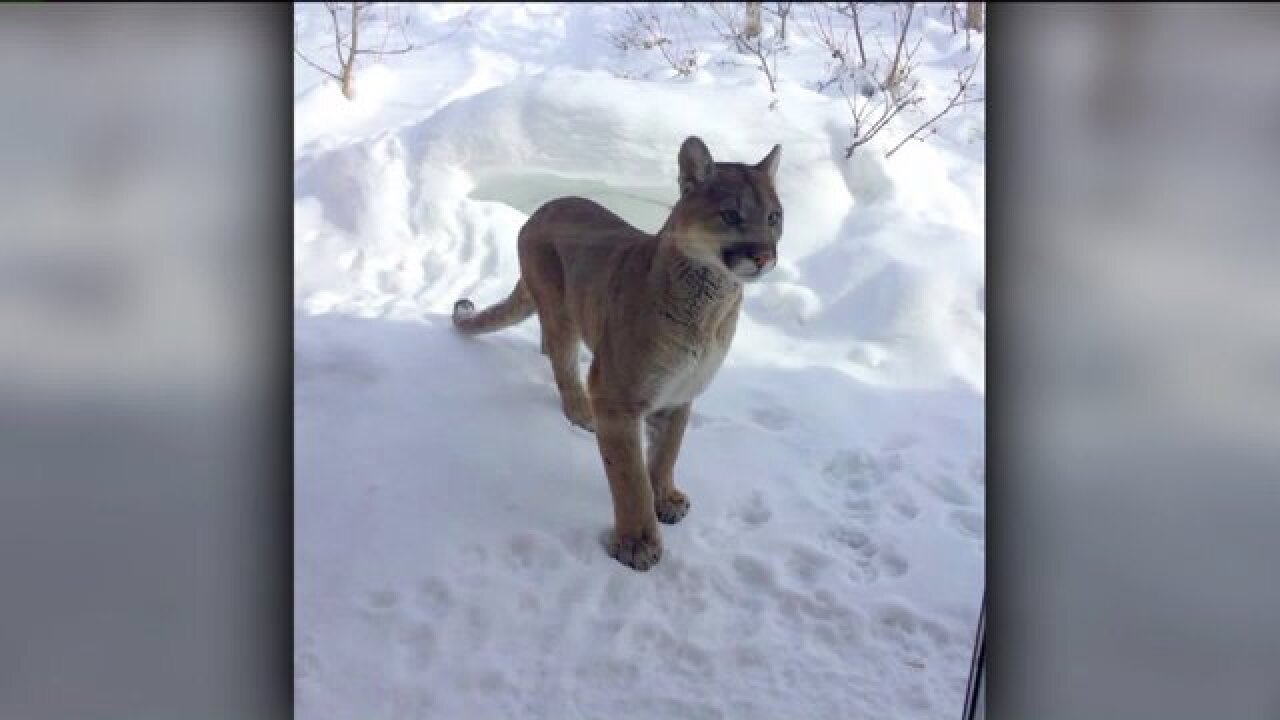 Mountain lion euthanized after attacking family's dogs in Summit County