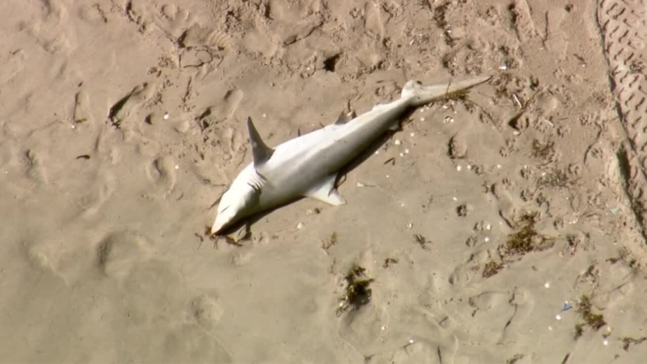 WPTV-DELRAY-BEACH-DEAD-SHARK.jpg