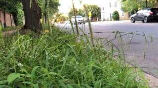 Overgrown grass along Granby Street