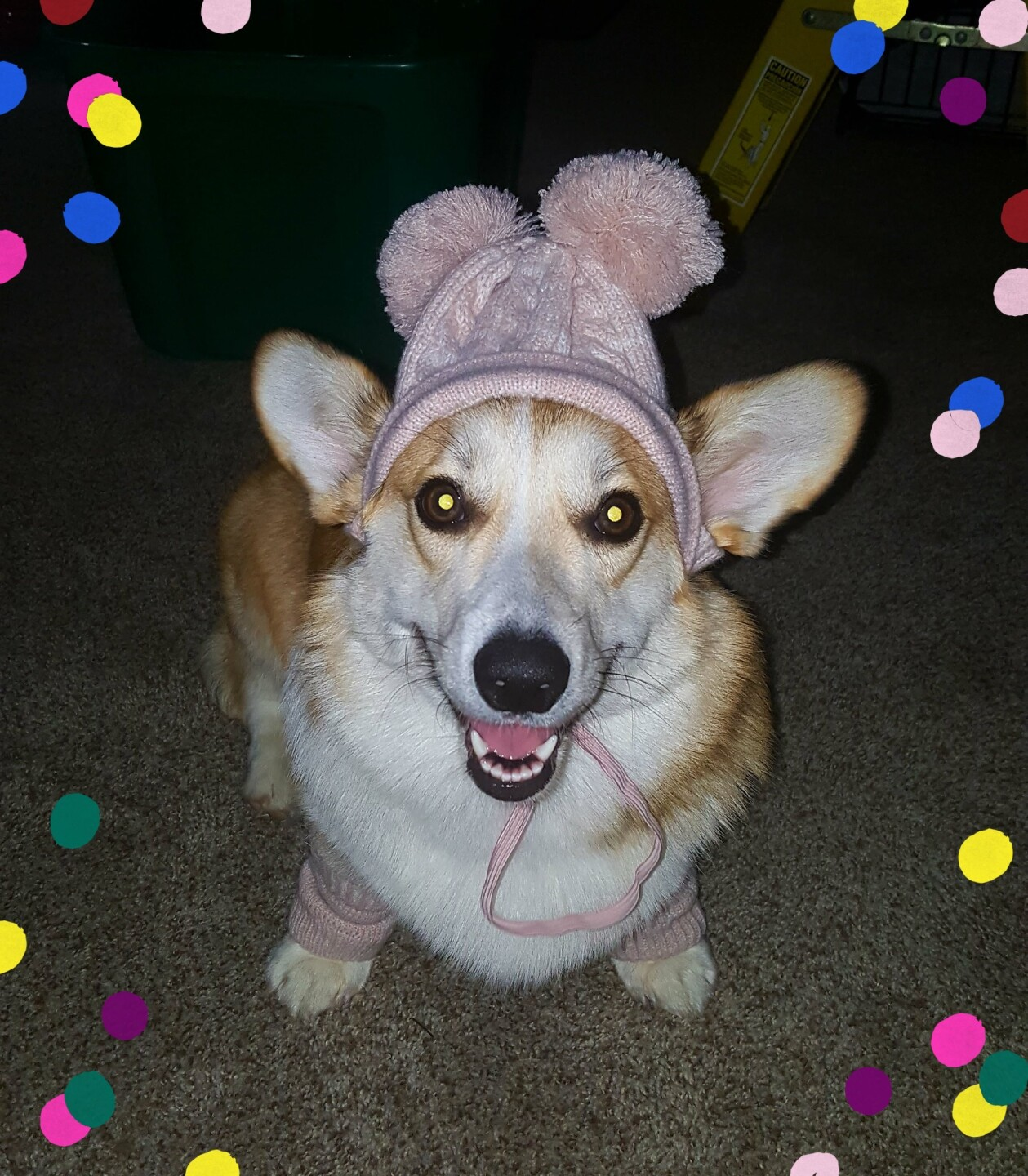 Jamie Xouris Pippa (our Corgi) is so EXCITED for her first Christmas!!!!