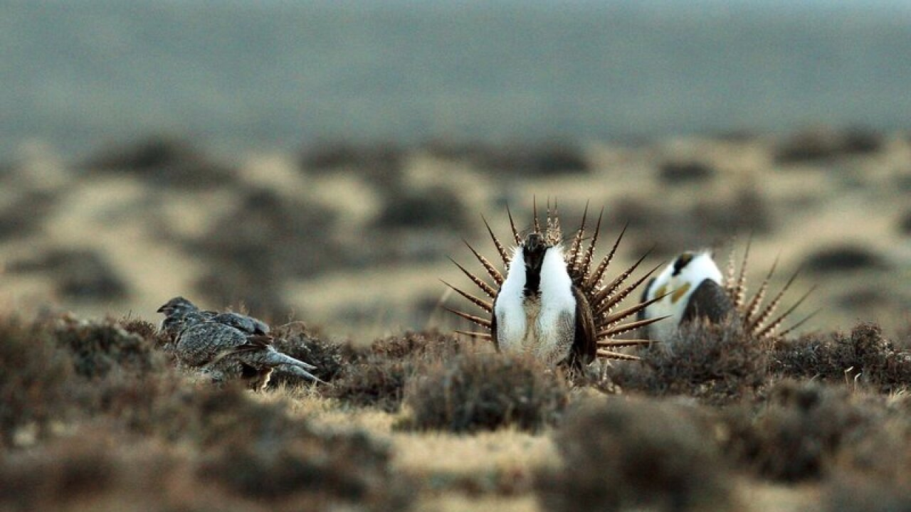 a male sage grouse tries to impress a female