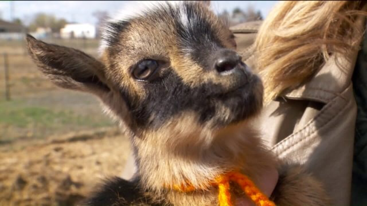 Utah goat litter ties world record with six kids