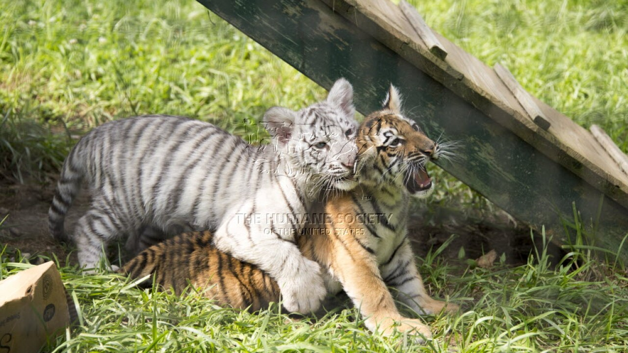 """Tiger cubs provided by """"Doc"""" Antle for use in photo shoots"""