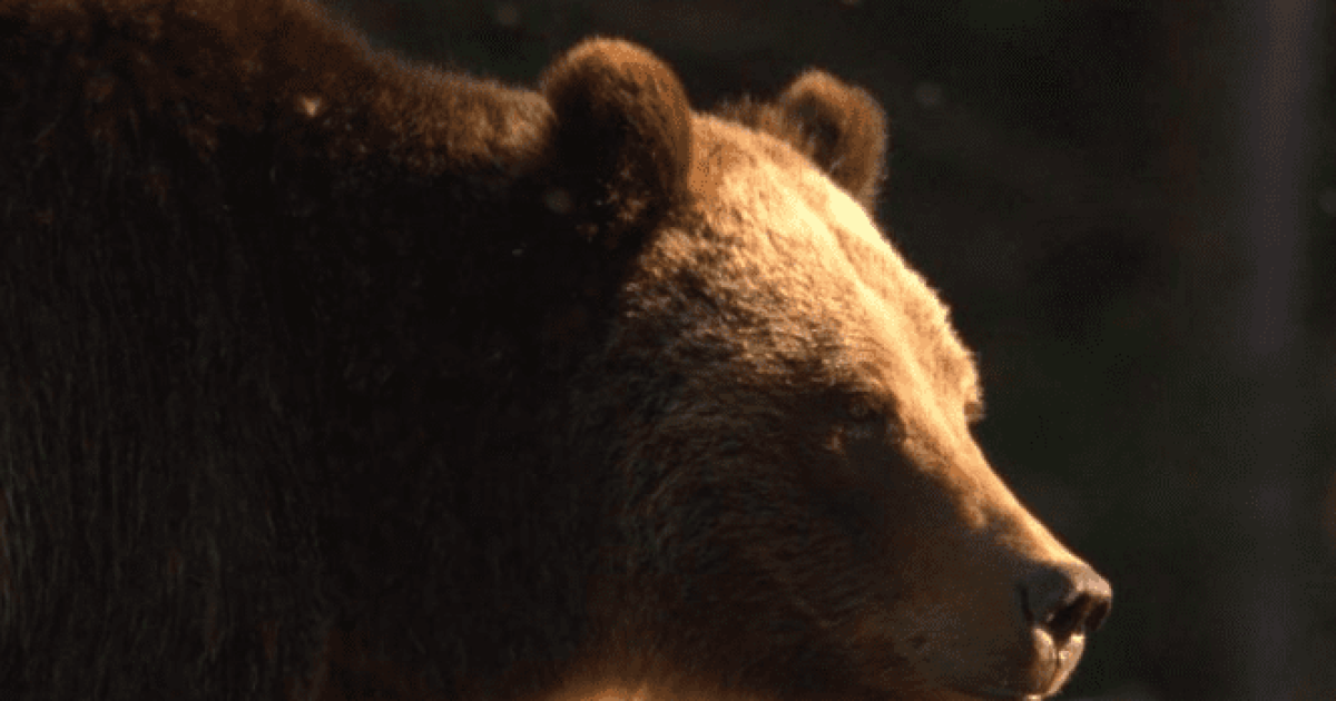 Governor Bullock Appoints Grizzly Bear Advisory Council Members