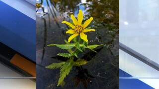 Last seen in Ohio in the 1930s, the water marigold (Bidens beckii) was rediscovered in Portage County in September 2019. [Photo credit: Andrew Lane Gibson, ODNR Division of Natural Areas and Preserves]
