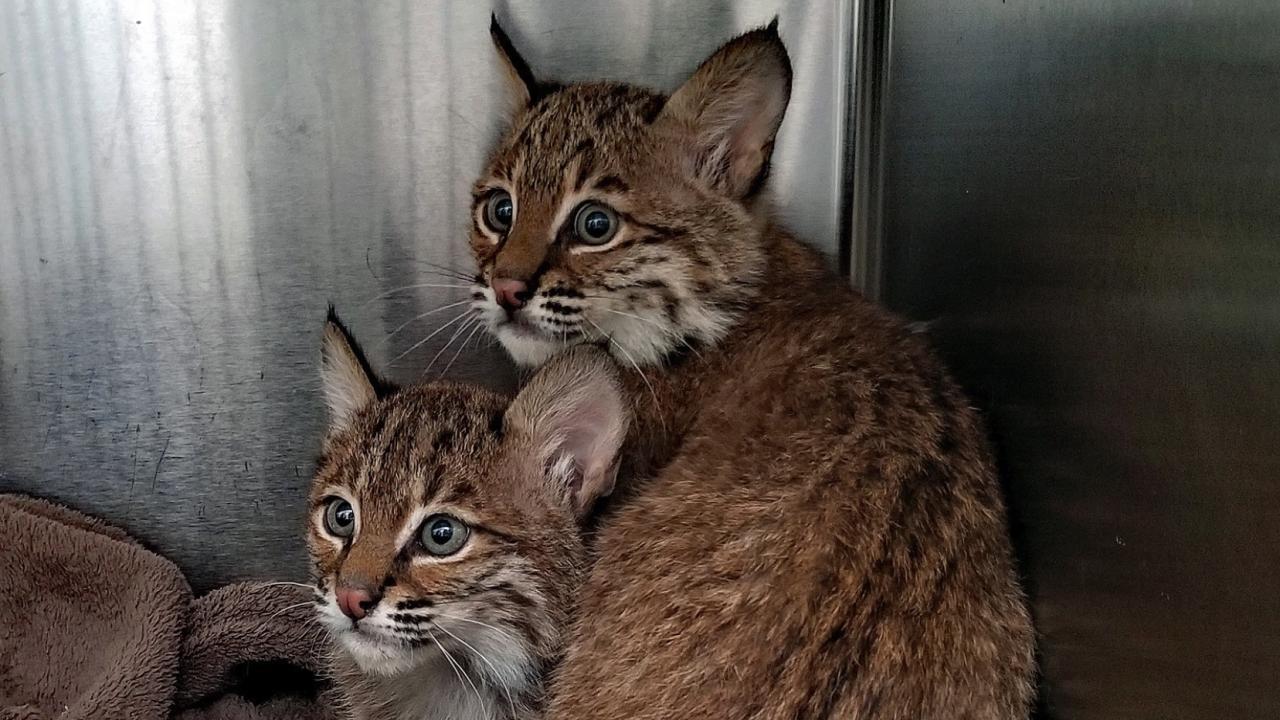 Bobcat kittens Lake County