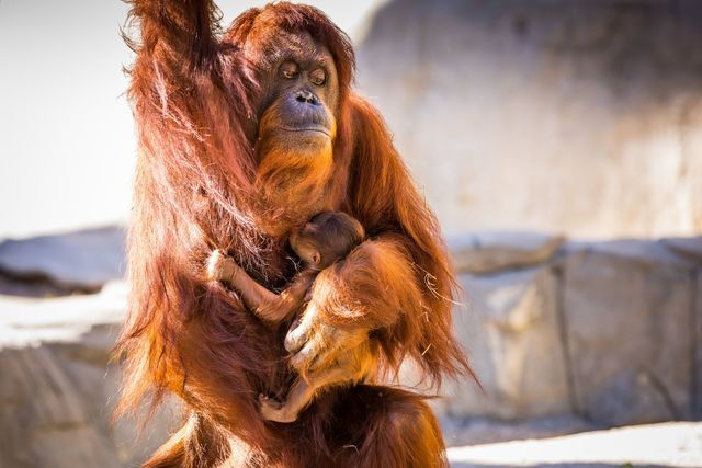 Tampa's Lowry Park Zoo welcomes baby Bornean Orangutan