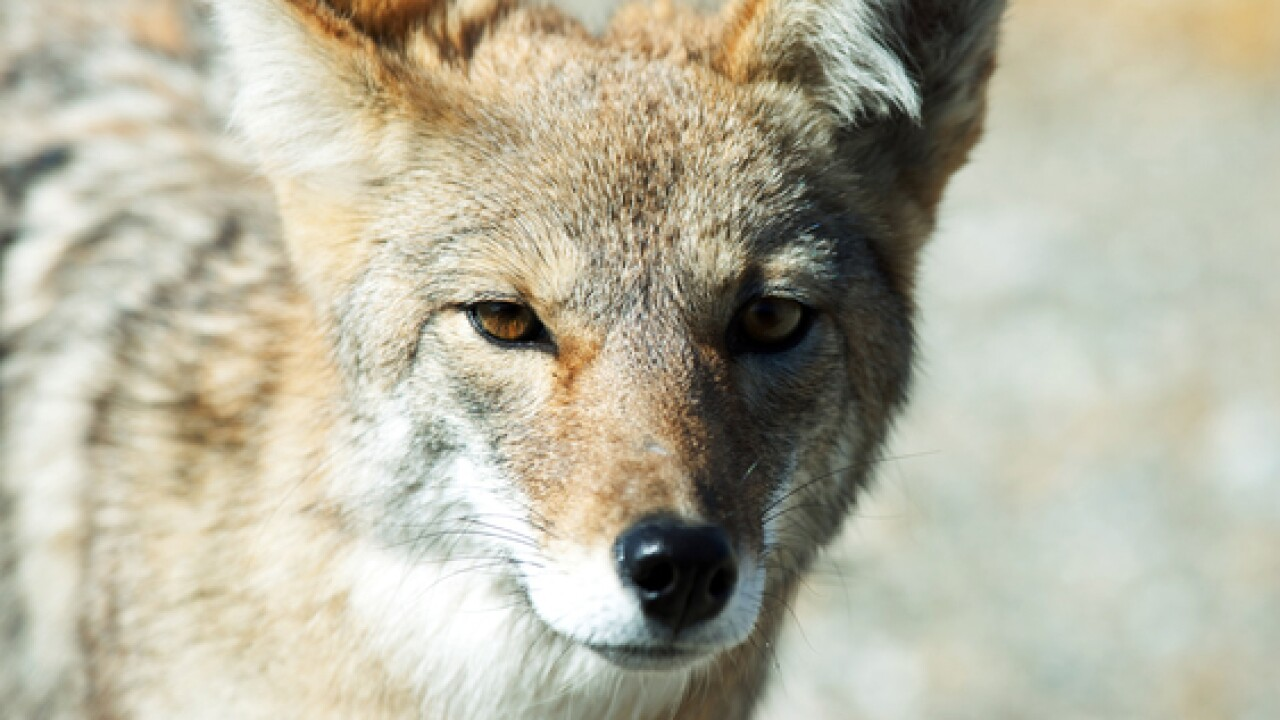 Coyotes spotted in Brown Deer, police say