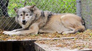 Wolf Hunt Wisconsin