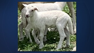 Detectives are seeking help from the public in locating a stolen male baby sheep, or ram lamb.