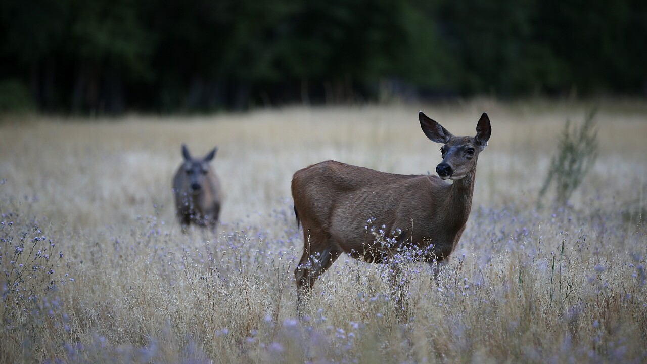 Officials warn hunters about 'zombie' deer