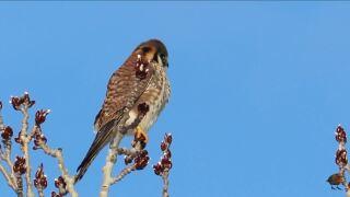 Untamed Montana: Meet the kestrel