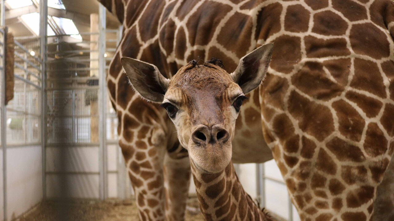 Female giraffe calf born 4-16-19 (2).jpg