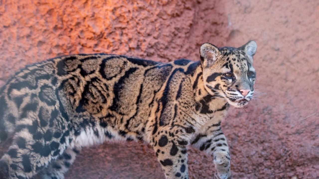 OKC Zoo Female Clouded Leopard Cub credit Jennifer D'Agostino.jpg