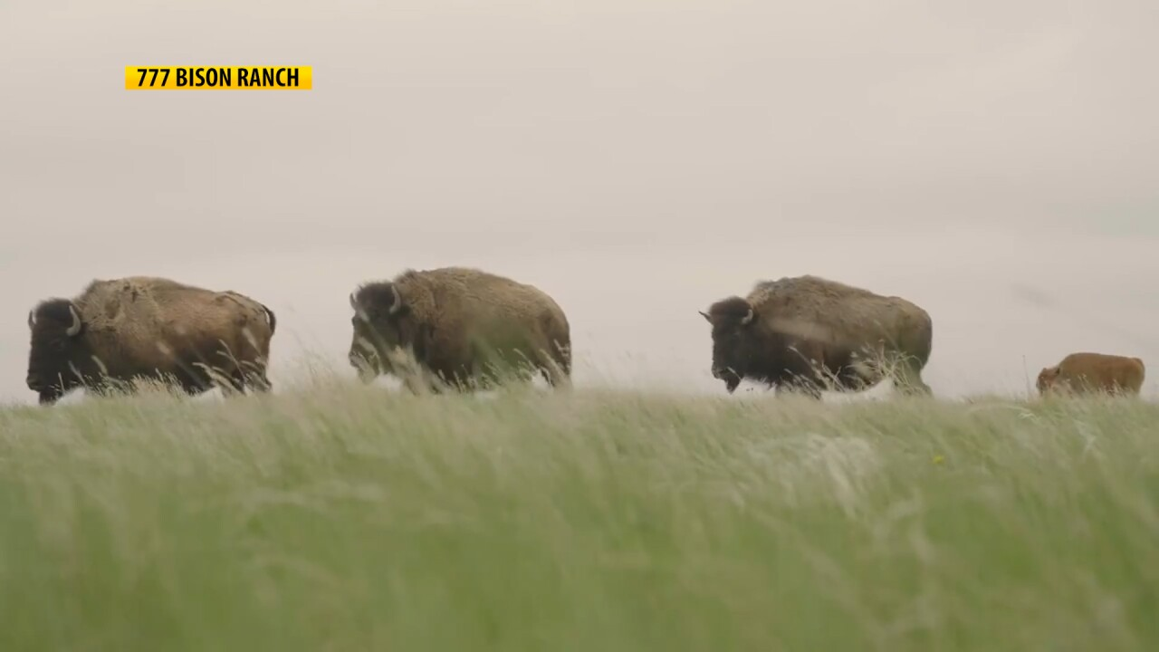 Montana Ag Network: New data shows big COVID-19 Impact on bison producers