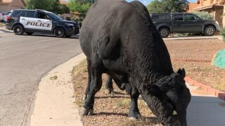 Tucson Police helped wrangle a bull in a Rita Ranch neighborhood on the morning of Tuesday October 21, 2021.