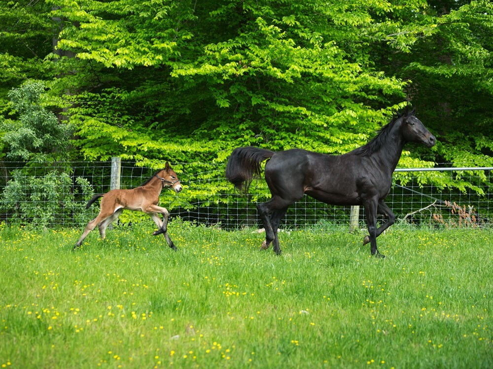 Photos: Colonial Williamsburg department welcomes first foal born in 16 years
