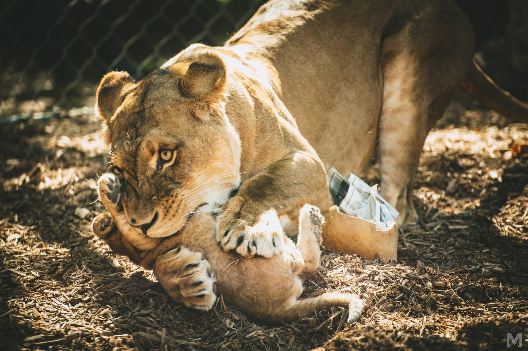 Lion Cub_7_Molly McCormick.jpg