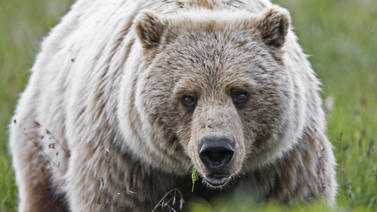 Idaho wildlife managers approve grizzly trophy hunt