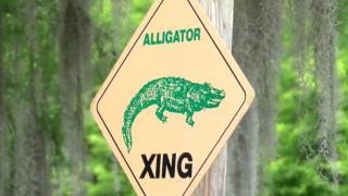 Rockefeller Wildlife gator xing.PNG