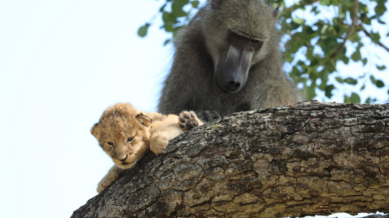 """In this photo taken Saturday, Feb. 1, 2020, a male baboon preens a lion cub in a tree While the rest of the baboon troop settled down, the male """"moved from branch to branch, grooming and carrying the cub for a long period of time,"""" said Schultz. in the Kruger National Park, South Africa. The baboon took the little cub into the tree and preened it as if it were his own, said safari ranger Kurt Schultz who said in 20 years he had never seen such behaviour. The fate of the lion cub is unknown. (Photo Kurt Schultz via AP)"""