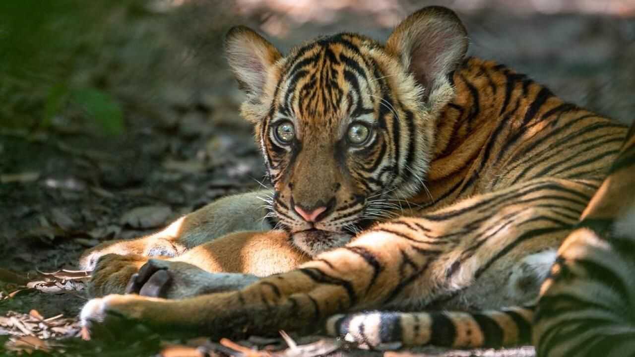 The female Malayan Tiger cub (with flower marking) rests in the Tiger River habitat at Palm Beach Zoo.