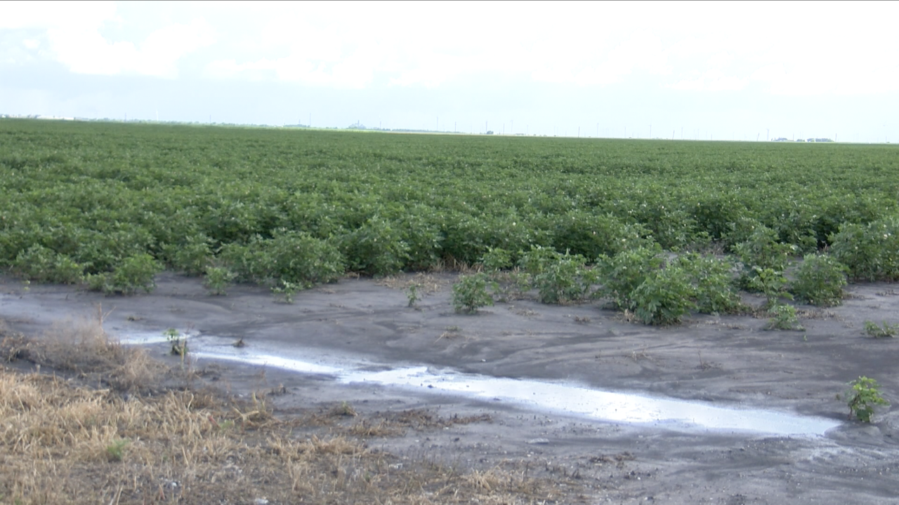 Coastal Bend farmers hopeful for good harvest despite heavy rains