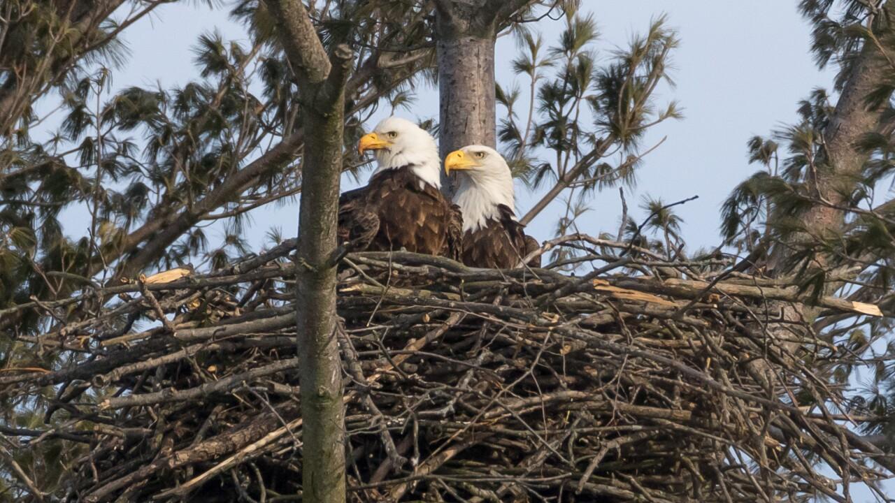 Stony Creek Eagle 3.jpg