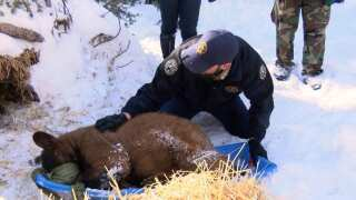 BACK INTO THE WILD: Placing bear cubs on the slopes of Pikes Peak