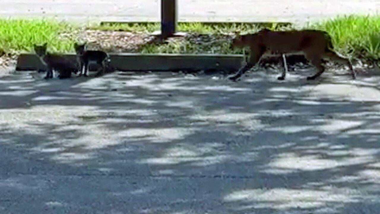 wptv-port-st-lucie-bobcats-.jpg