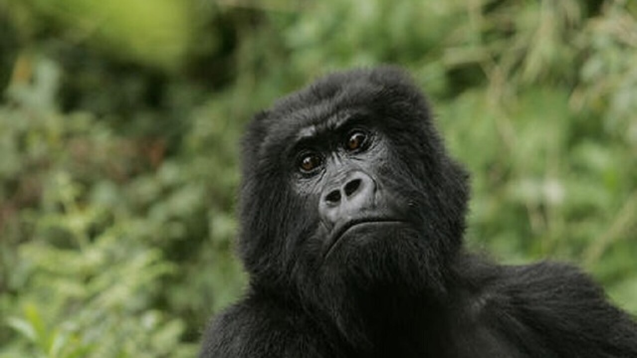Eastern gorilla added to critically endangered list