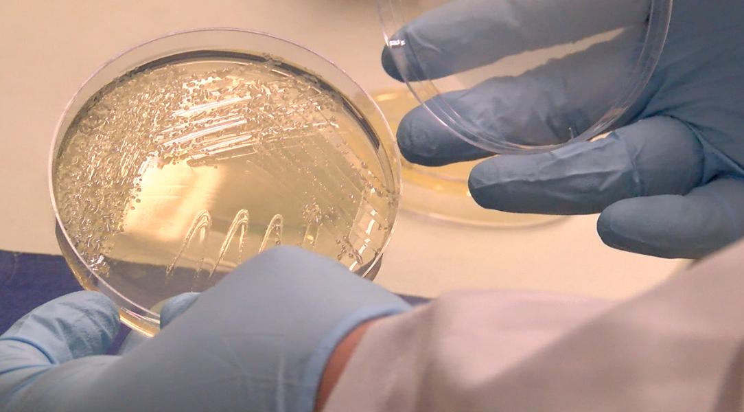Growing bacteria in petri dish