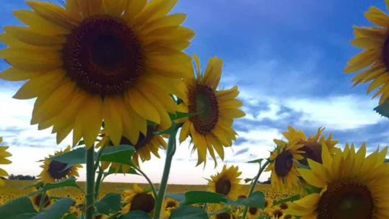 Harford County Farm forced to replant sunflowers
